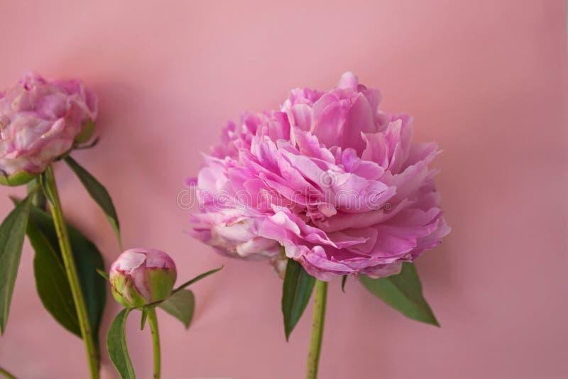 Härliga rosa pionblommor på rosa pastellfärgad bakgrund med kopieringsutrymme för din text, bästa sikt och plana lekmanna- stil royaltyfri bild