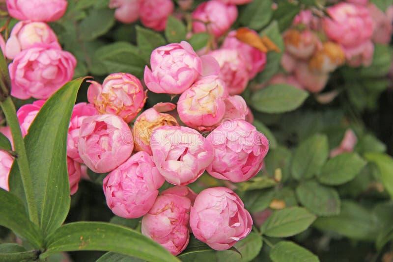 Härliga rosa pioner och gröna sidor Härlig bakgrund royaltyfri fotografi