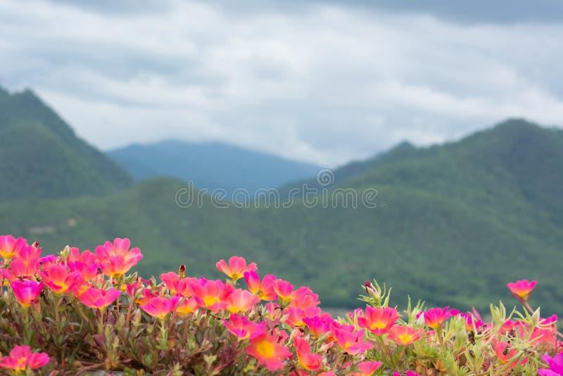 Härliga rosa portulacaoleraceablommor royaltyfri fotografi