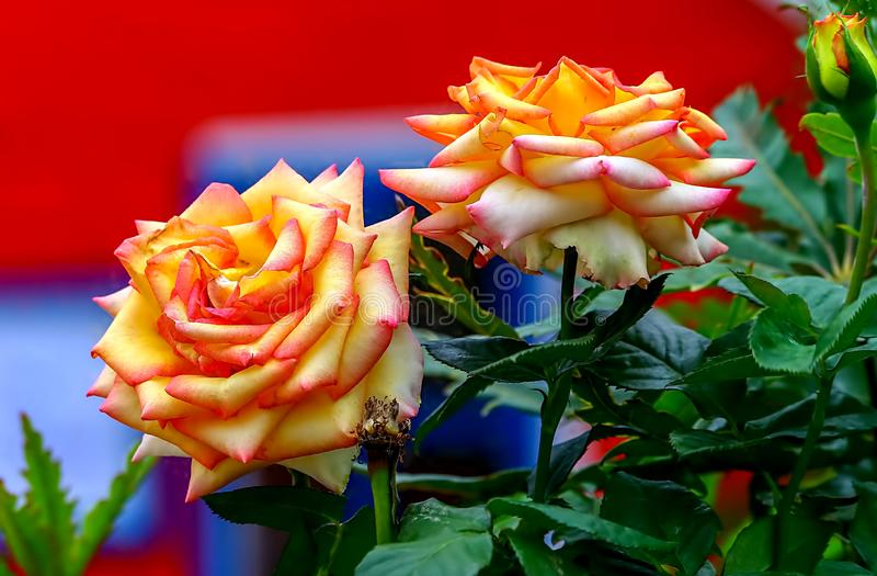 Härliga rosa röda guld- rosor framme av en färgrik lekstuga royaltyfri fotografi