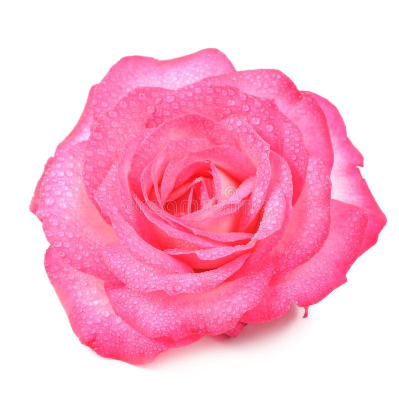 Härliga rosa Rose Flower med vattendroppar som isoleras på vit bakgrund arkivbild