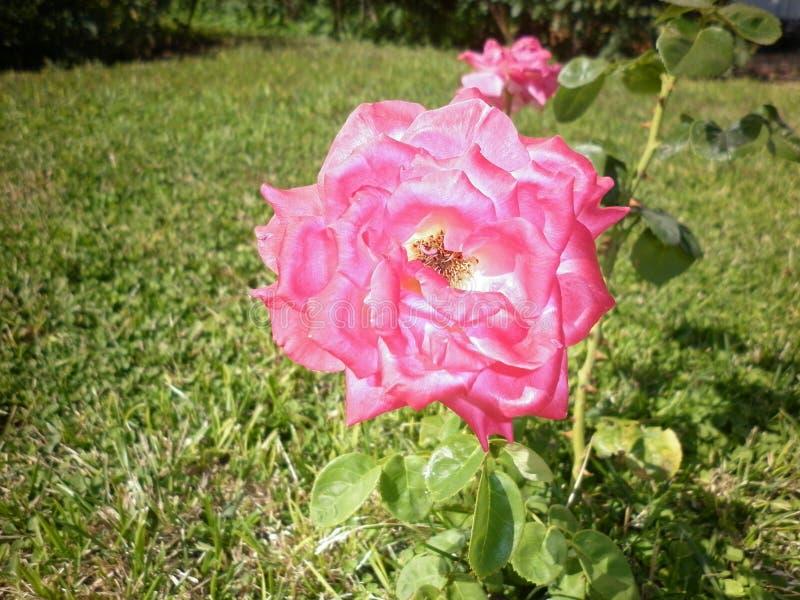 Härliga rosa rosor i botaniska trädgården av rosa rosor arkivfoton