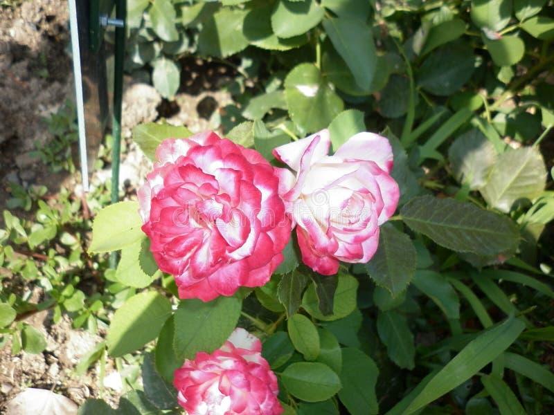 Härliga rosa rosor i botaniska trädgården av rosa rosor royaltyfri fotografi