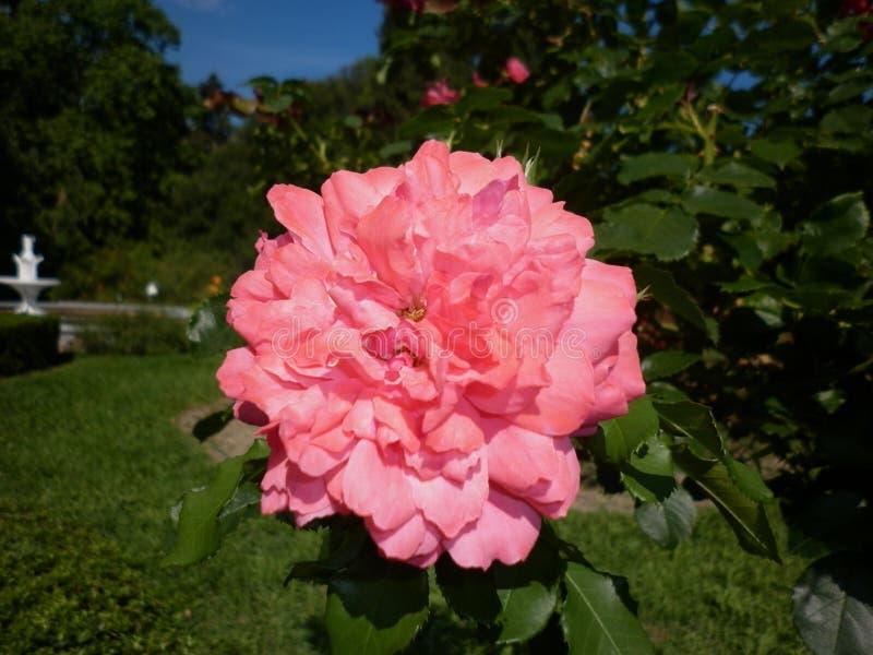 Härliga rosa rosor i botaniska trädgården av rosa rosor royaltyfria foton