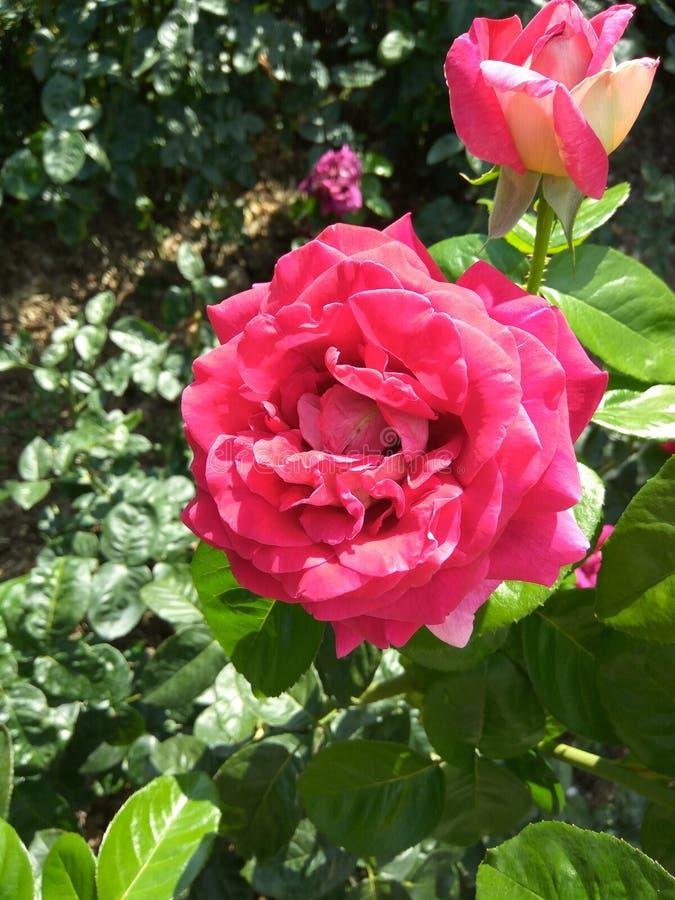 Härliga rosa rosor i botaniska trädgården av rosa rosor arkivfoto