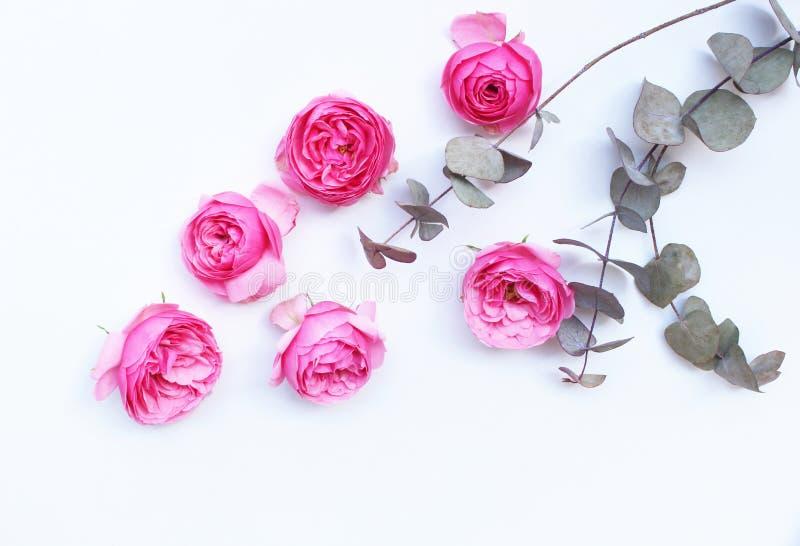 Härliga rosa rosor och eukalyptussidor spridde på en vit bakgrund, över huvudet sikt Lekmanna- lägenhet Top beskådar tomt fotografering för bildbyråer