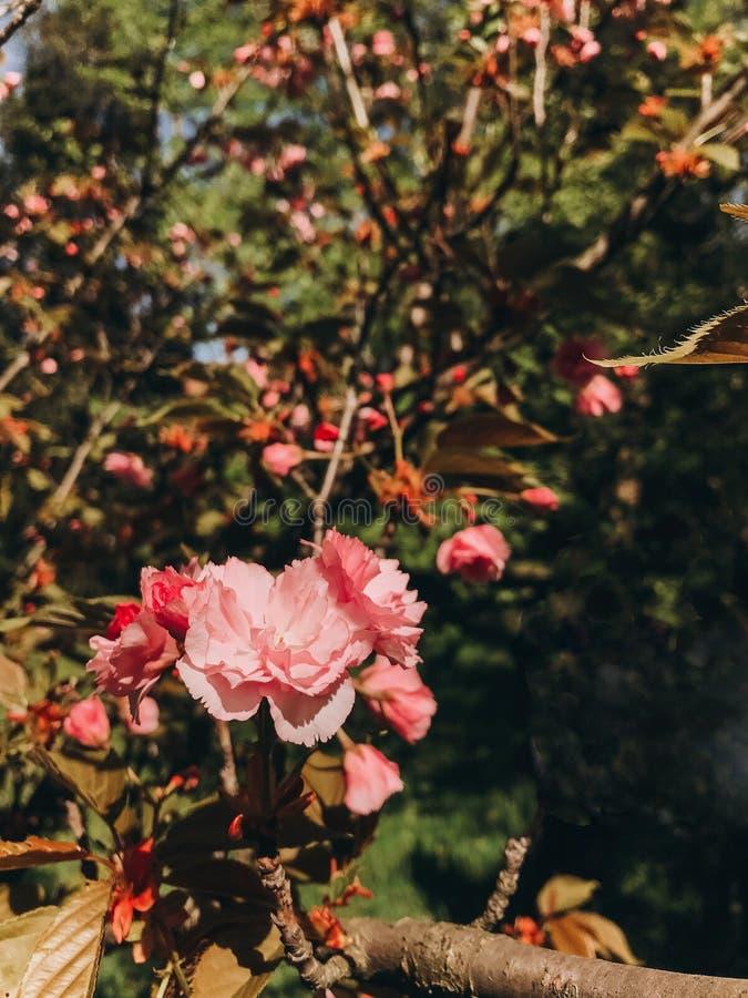Härliga rosa sakura blommor på filialer i solig botanisk trädgård Blomningar för körsbärsrött träd stänger sig upp Hälsningar fjä royaltyfri bild