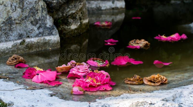 Härliga rosor i en pöl royaltyfria foton