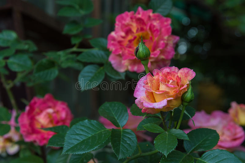 Härliga rosor i trädgård royaltyfria foton