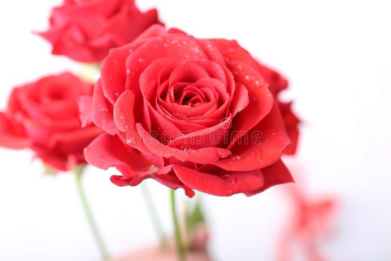 Härliga rosor på ljus bakgrund royaltyfria bilder