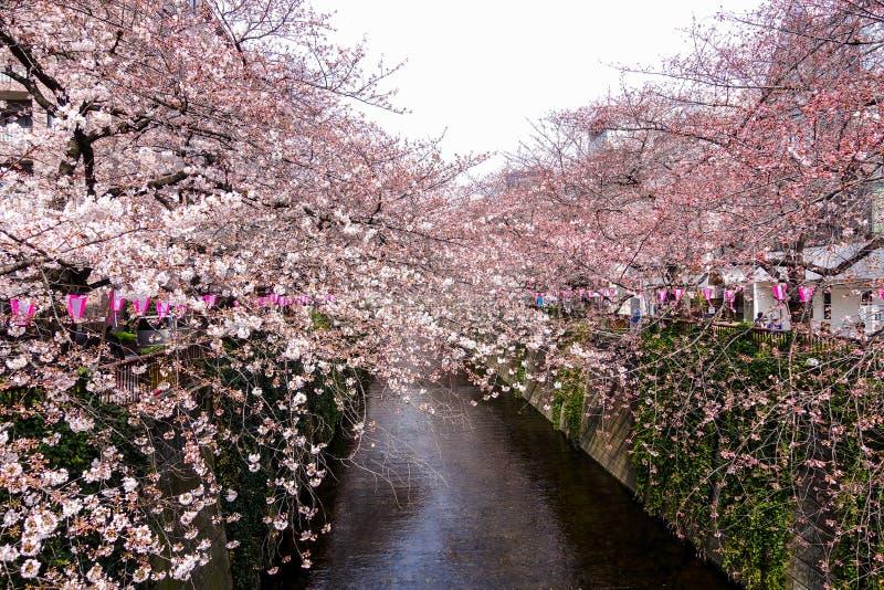 Härliga Sakura på Nakameguro, Tokyo royaltyfria bilder