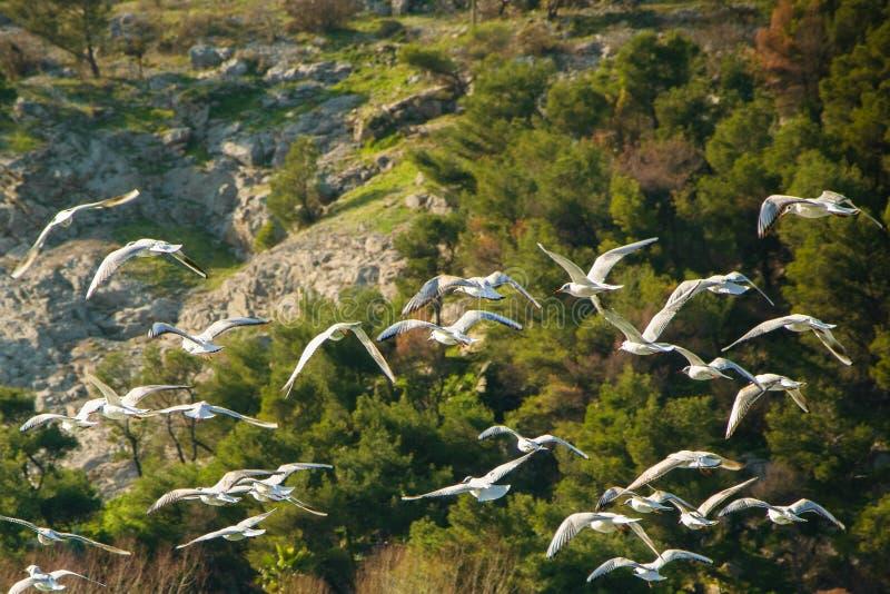 Härliga seagulls som tillsammans flyger i den lösa naturen royaltyfria bilder