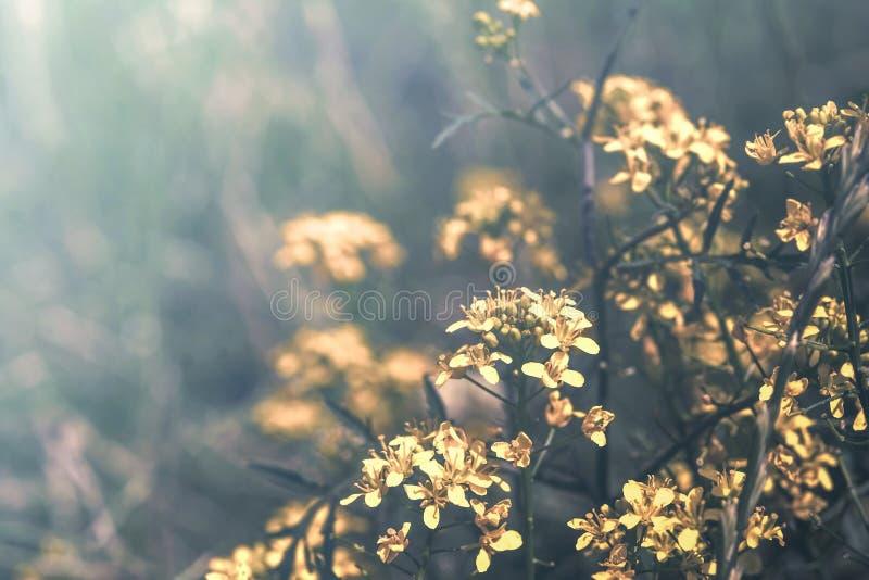 Härliga senapsgula blommor blomstrar på löst fält i solnedgångljus Grunt djup abstrakt bakgrundsnatur Id?rik pastell royaltyfria foton