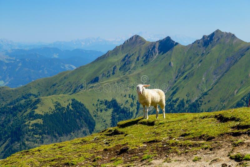 Härliga sikter av berget Ridge och avlägsna alpina maxima för de kraftfull och med gulliga vita får arkivfoton