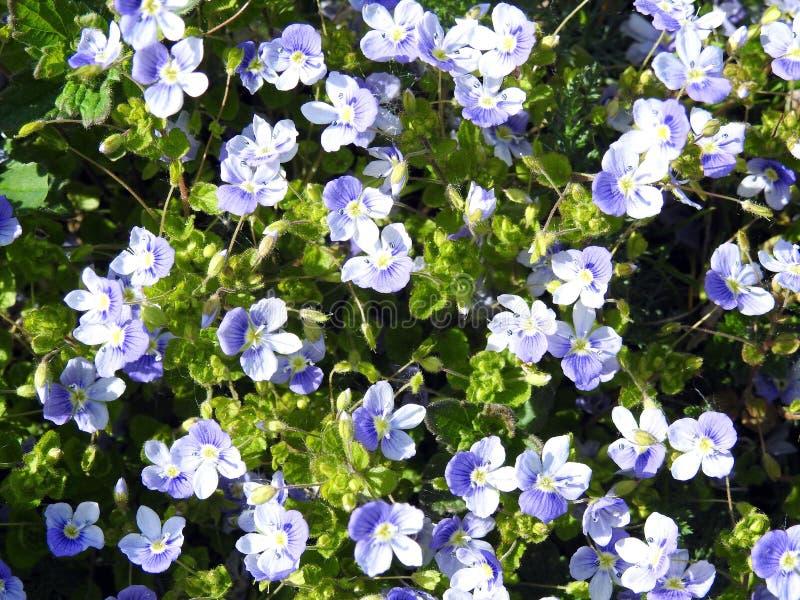 Härliga små blåa lösa blommor, Litauen fotografering för bildbyråer
