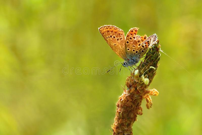 Härliga små fjärilsallmänningblått (Polyommatus icarus) Makro som skjutas av naturslut upp fotografering för bildbyråer