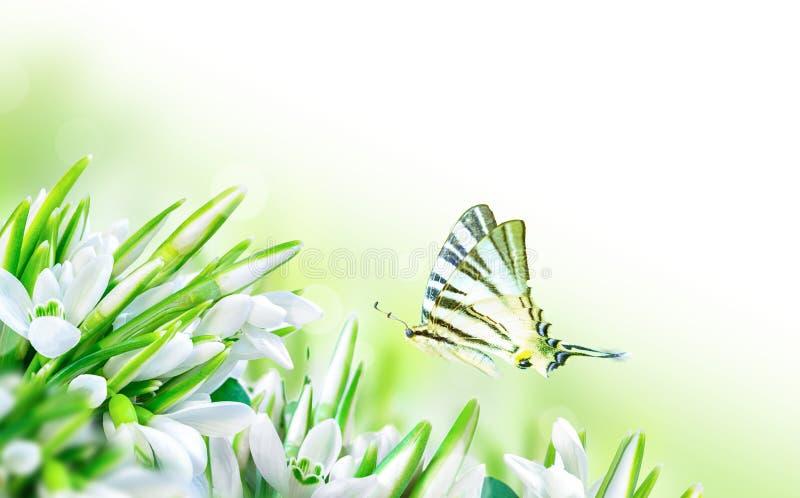 Härliga snödroppar blommar blomningen och fjärilen på vit bakgrund för blomninggreen för filial ljus tree för fjäder för natur fö royaltyfri foto