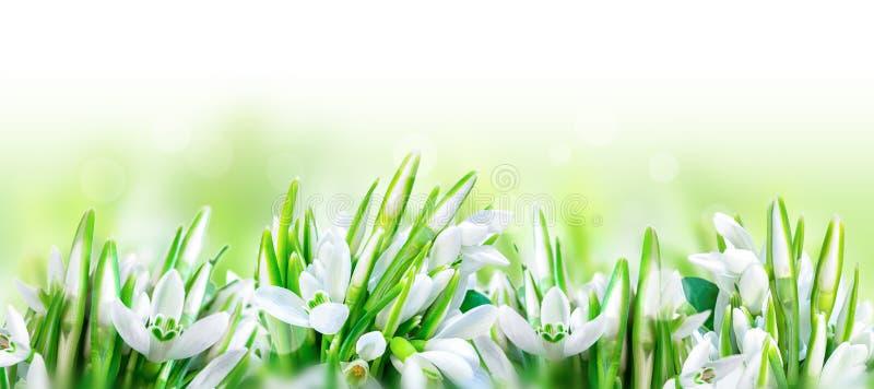 Härliga snödroppar blommar blomningen som isoleras på vit panoramabakgrund för blomninggreen för filial ljus tree för fjäder för  royaltyfria bilder