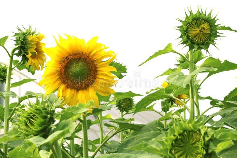 Härliga solrosor är blommande i trädgården royaltyfri fotografi