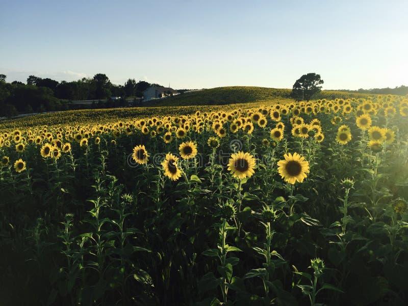 Härliga solrosor i en lantgård royaltyfri foto