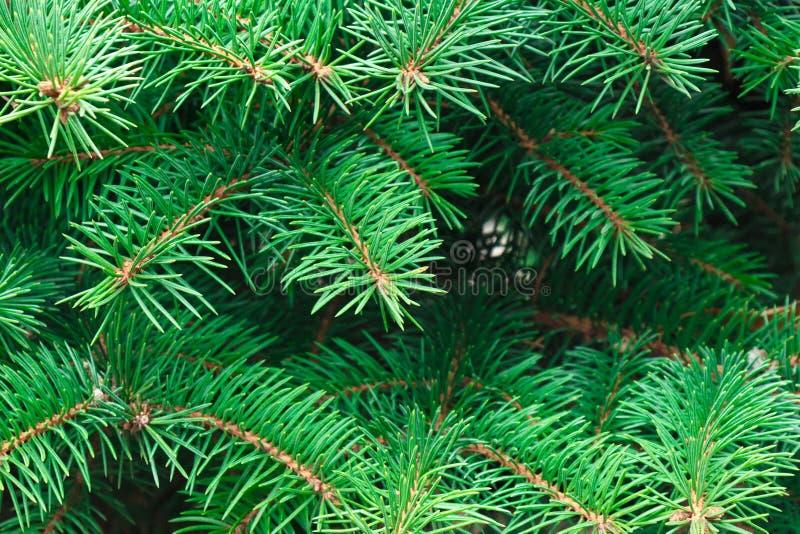Härliga spetsiga gröna prydliga filialer som bakgrund royaltyfri fotografi
