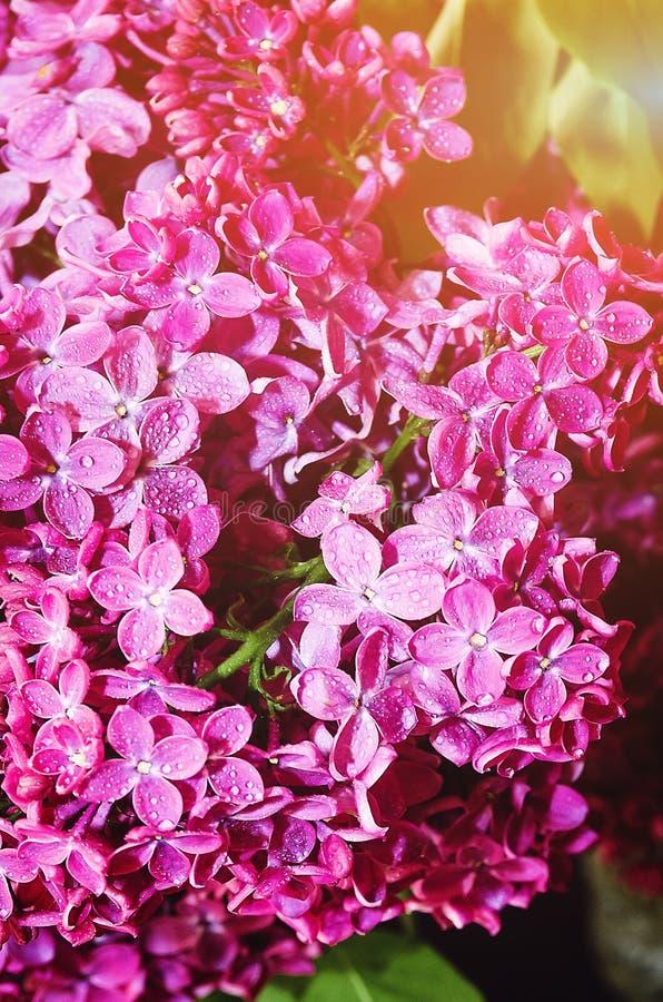 Härliga stora blommor av lila färgrik bakgrund closeup selektiv fokus royaltyfri foto