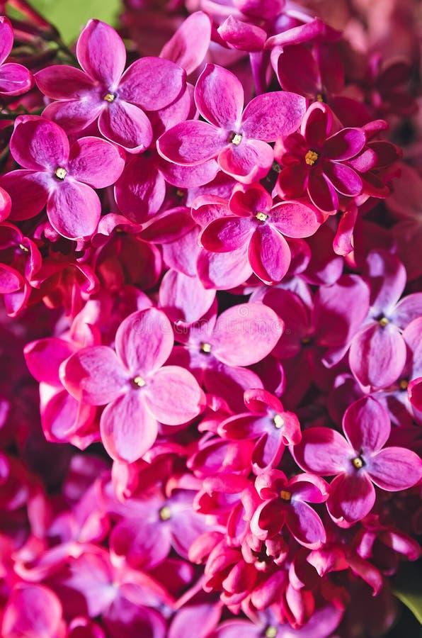 Härliga stora blommor av lila färgrik bakgrund closeup selektiv fokus arkivbild