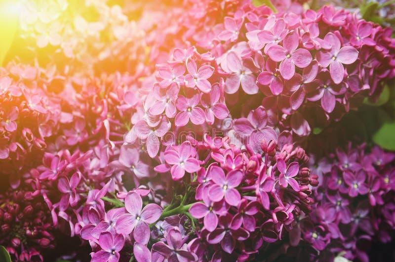 Härliga stora blommor av lilan i små droppar av vatten, färgrik bakgrund closeup selektiv fokus arkivfoton