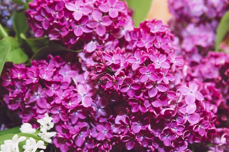 Härliga stora blommor av lilan i små droppar av vatten, färgrik bakgrund closeup selektiv fokus royaltyfria bilder
