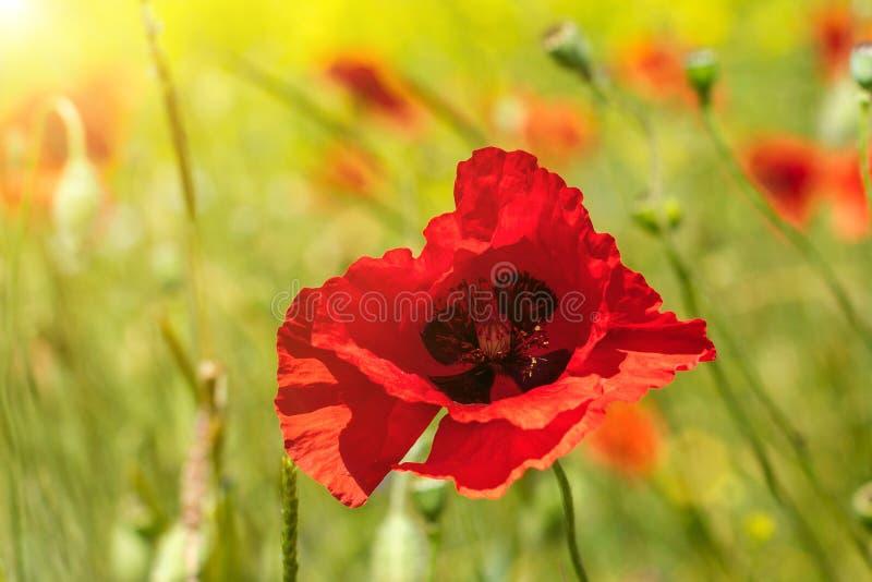 Härliga stora röda vallmo på en naturlig grön bakgrund fotografering för bildbyråer