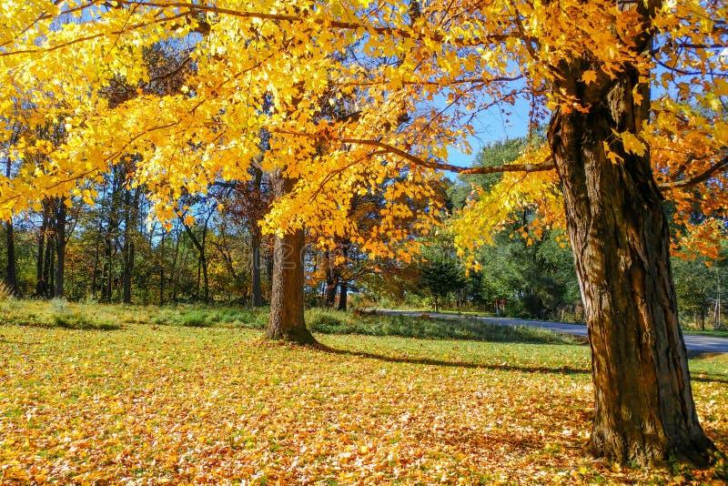 Härliga Sugar Maple med gula sidor royaltyfria bilder