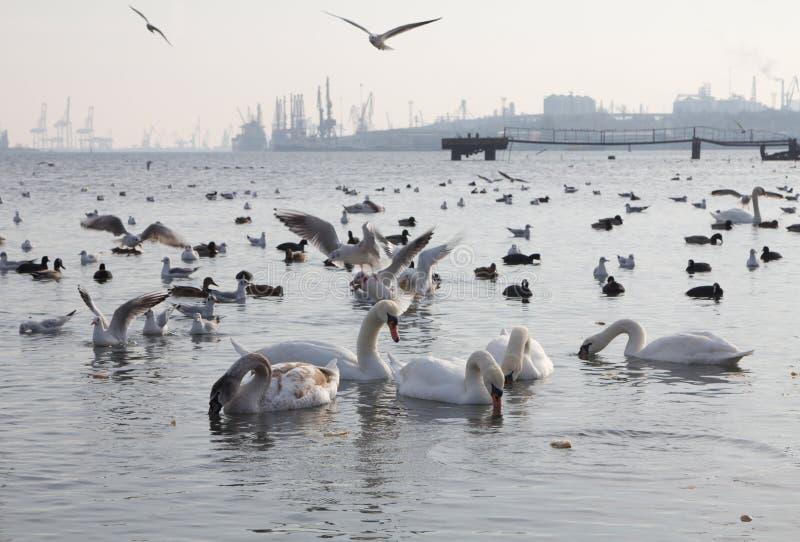 Härliga svanar, fiskmåsar och änder i vintersjön royaltyfri foto