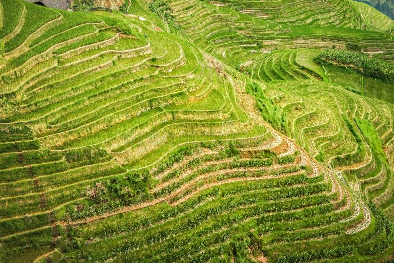 Härliga terrasserad risfältdrakes ryggrad i Longsheng nära stad av Guilin, Guangxi, Kina royaltyfria foton