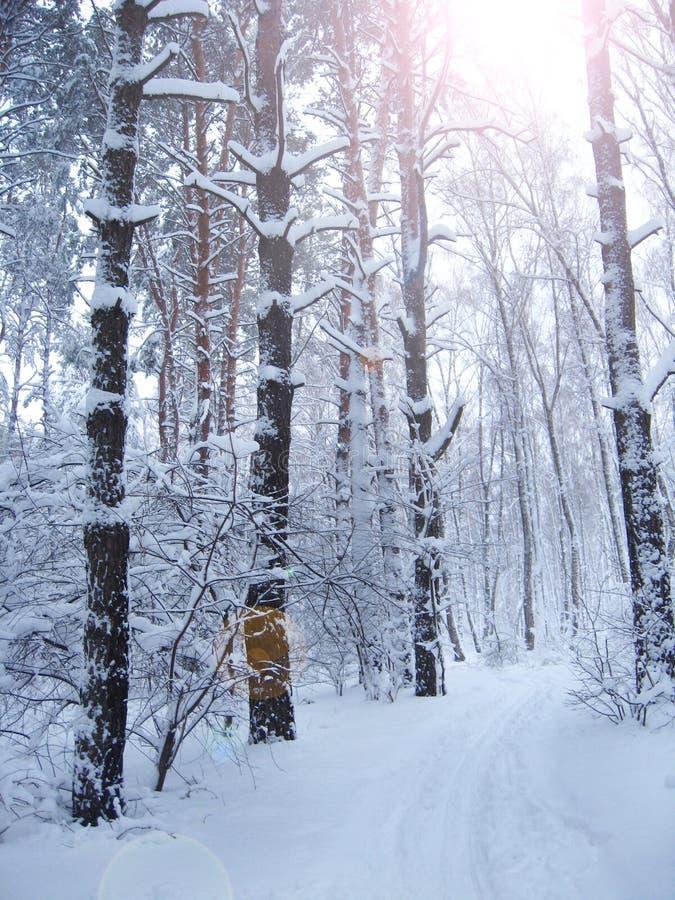 Härliga träd som täckas med frost parkerar in, med solstrålar svart blått footwayfotolandskap tonade vita vinterträn royaltyfria bilder