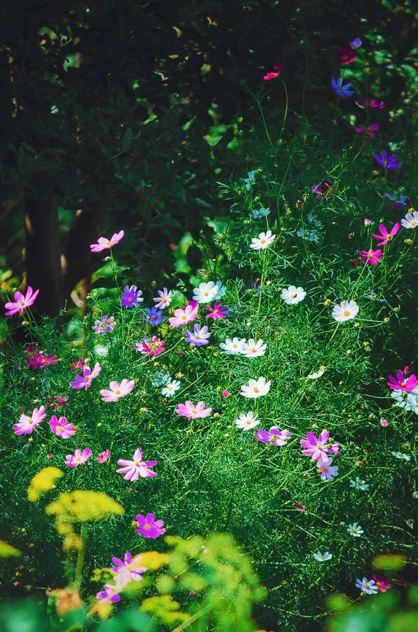 Härliga trädgårdblommor i sommar Kosmosblomma, vertikalt foto royaltyfria foton