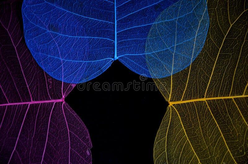 Härliga tre färger av pipal bladåder arkivbilder