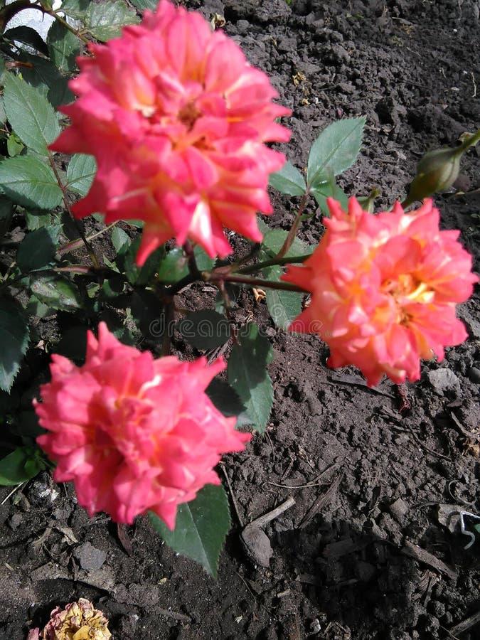 Härliga tre rosa rosor royaltyfri fotografi