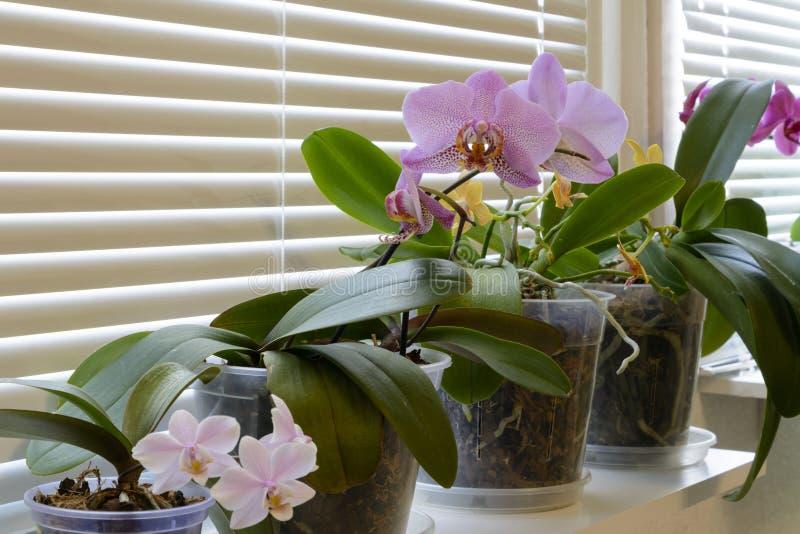 Härliga tropiska orkidéblommor i krukor på fönsterbräda arkivfoton