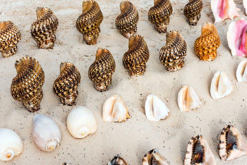 Härliga tropiska skal på stranden i Punta Cana, La Altagracia, Dominikanska republiken Närbild arkivfoton