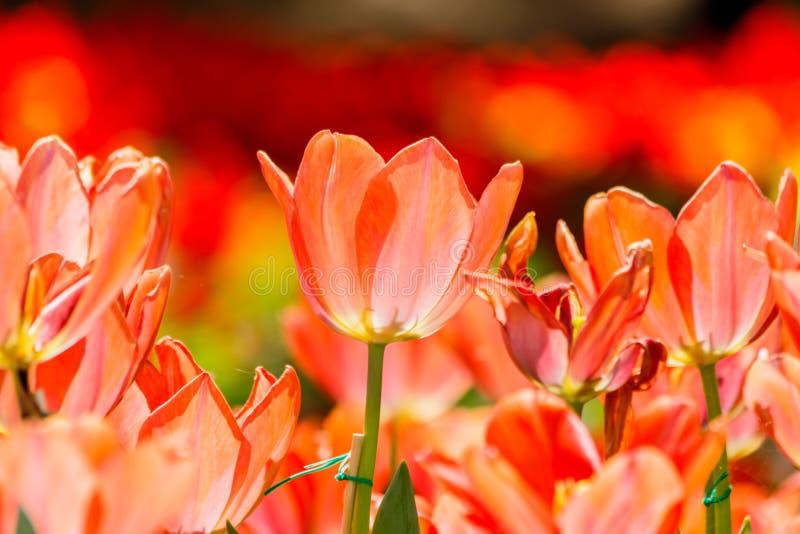 Härliga tulpan i tulpanfält med bukettbakgrund royaltyfria bilder
