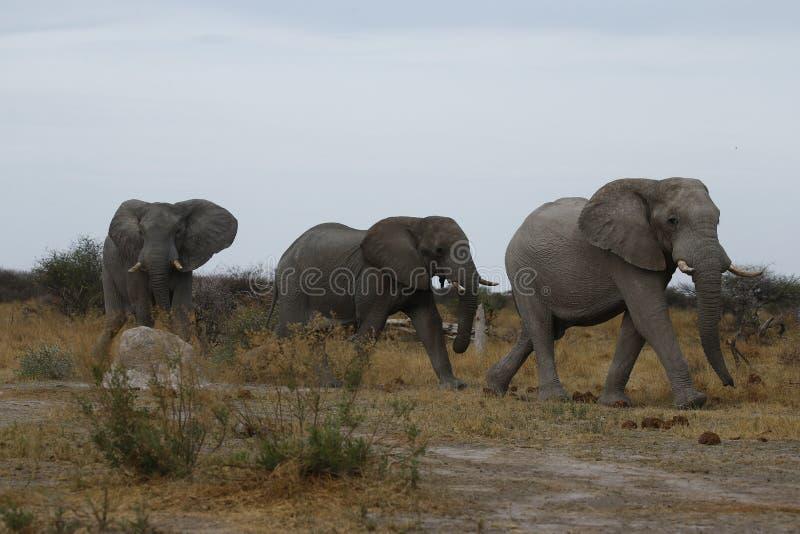 Härliga tysta elefanter upp nära och lyckligt royaltyfri foto