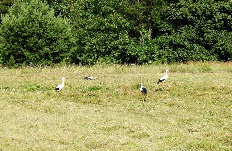 Härliga unga storkfåglar i ängen, Litauen royaltyfri foto