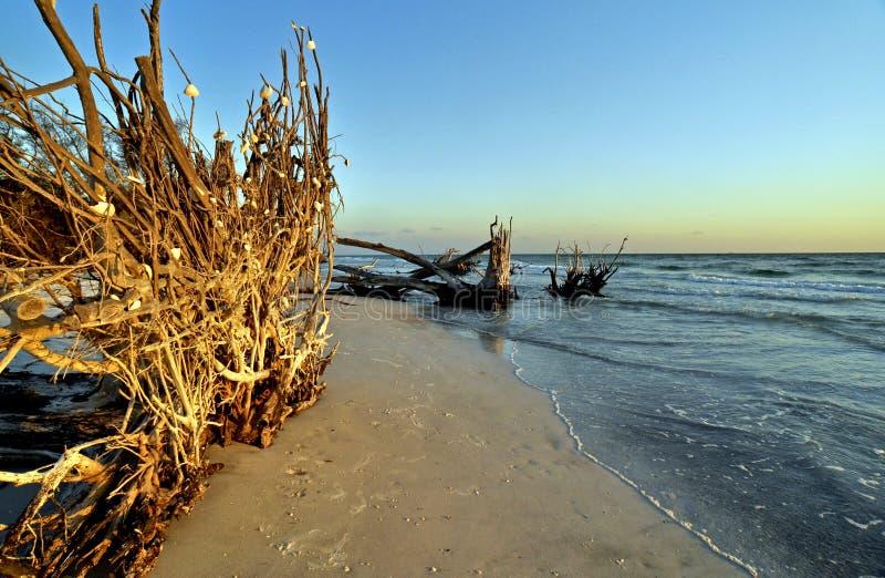 härliga uprooted florida för strand trees royaltyfria bilder