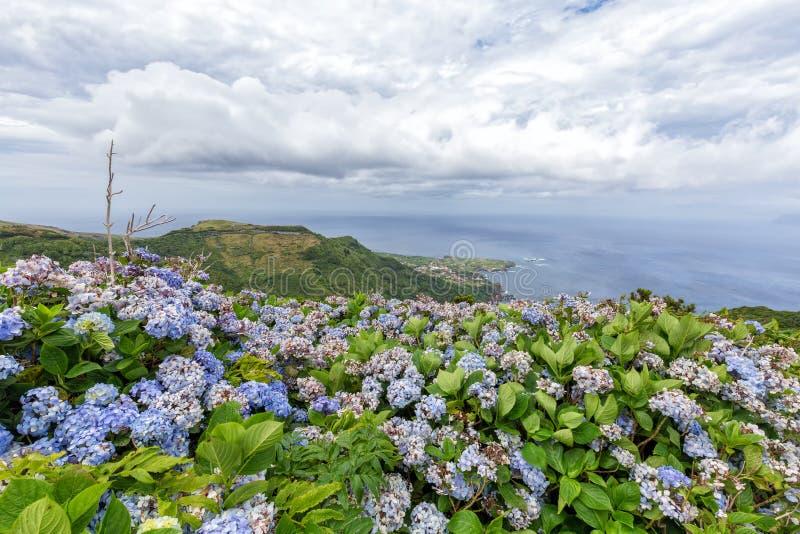 Härliga vanliga hortensior på Flores arkivbilder