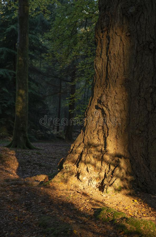 Härliga vibrerande Autumn Fall träd i nedgångfärg i ny skog i England med att bedöva solljus som gör färgpop mot mörker fotografering för bildbyråer