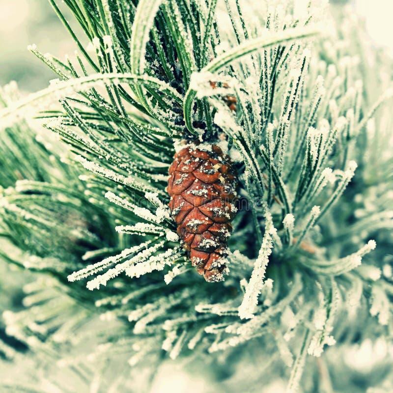Härliga vinterfrostfilialer av sörjer och kottar i natur royaltyfria foton