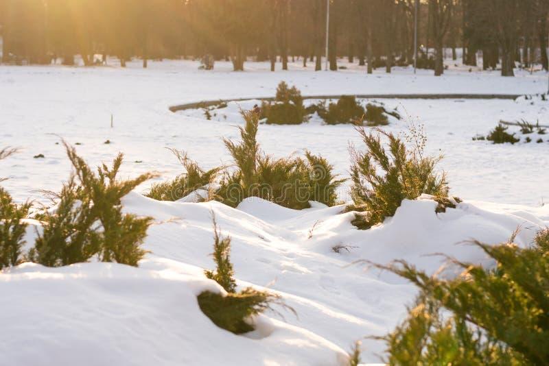 Härliga vintergröna buskar lägger under av snö med solstrålar i vinter som den frostiga soliga dagen parkerar in Naturbakgrund i  royaltyfri fotografi