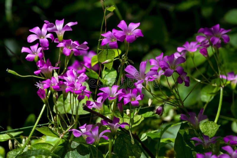 Härliga Violet Wood Sorrel i skogen royaltyfria bilder