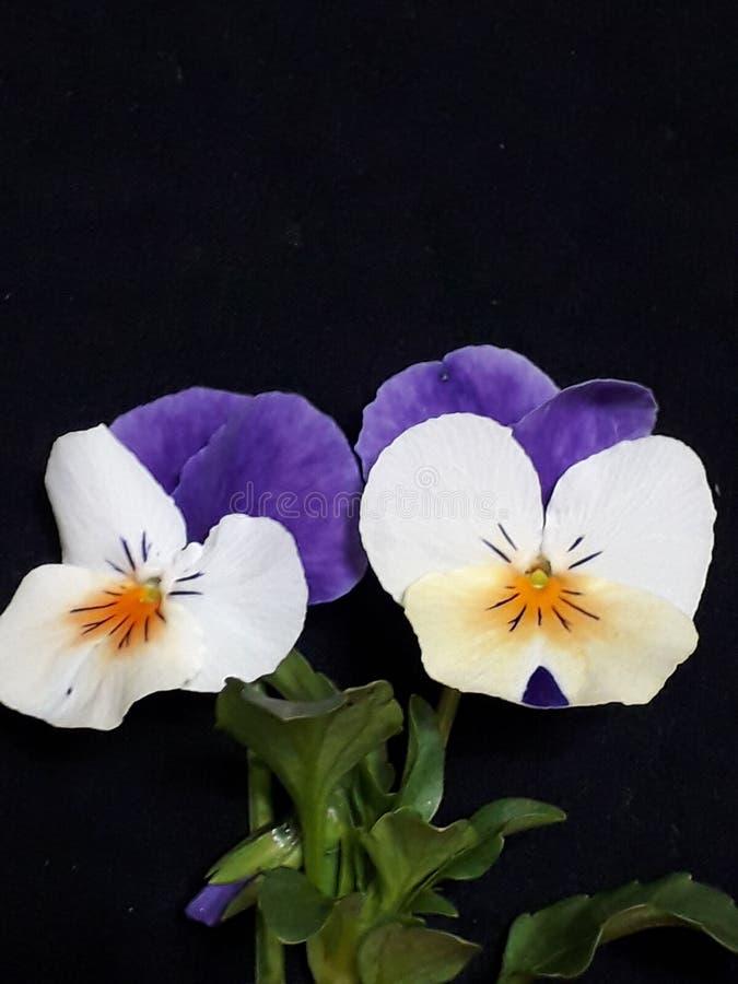 Härliga violets med gröna sidor arkivbild