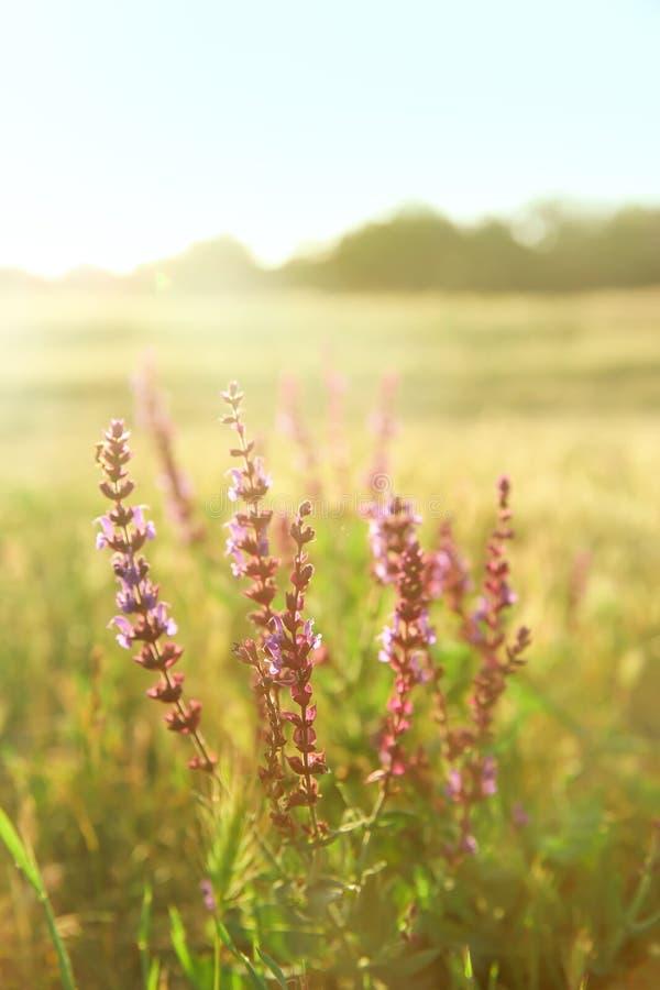 Härliga visa blommor i fält på vårdag royaltyfri bild
